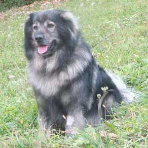 Kraški ovčar - slovenska avtohtona pasma
